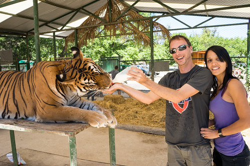 Giving milk to the tiger