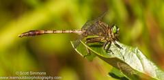 Gray-green Clubtail (sjsimmons68) Tags: animals fav insectsandspiders graygreenclubtail arigomphuspallidus seminoleco dragonflyanddamselfly fllocations lowerwekiwariverpreserve