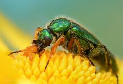 Cerocoma vahli (stanislav snall) Tags: macro insects bugs morocco marocco beetles makro macrophotography marocko coleoptera insecta meloidae blisterbeetles cerocomini