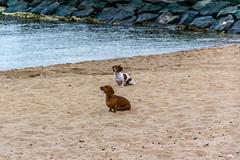 Mindy & Stanley (Joe Caputo) Tags: ocean sunset dog beach dogs animal puppy puppies australia dachshund stanley elwood mindy mansbestfriend loyal mindystanley