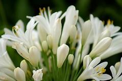 fleurs blanches du jardin (laurentmorand) Tags: flower macro nature fleur plante garden photo jardin morand