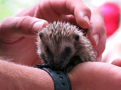 Baby Hedgehog (surreyblonde) Tags: uk baby cute nature animals canon wildlife hedgehog spines mammals spikes naturalworld g15 britishwildlifecentre erinaceinae