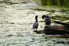 20150712 cormorants (2) (schizoform) Tags: cormorants turtlepond