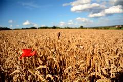 Mohnblume im Weizen (ingoal18) Tags: bokeh himmel blau mohn mohnblume weizen weizenfeld schmalegg