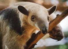 150721Tamandua-2 (Molly Goossens) Tags: animal zoo minnesotazoo southerntamandua tropicstrail lesseranteater