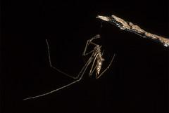 Aranha Rhomphaea sp ♂ (Theridiidae, Argyrodinae) a (Enio Branco) Tags: nature rainforest wildlife natureza bugs macrophotography mataatlântica macromundo artropods sosmataatlântica macromaniaanimalgroup