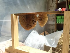 Warre beehive top bar and comb