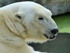 Lales Daddy (1585) (BrigitteE1) Tags: bear animal germany de mammal zoo europe saturday polarbear lloyd bremerhaven zooammeer ijsbeer tier ursus br eisbr ursusmaritimus  oursblanc nanuq isbjrn ursopolar osopolar sugetier jkaru  jegesmedve orsopolare jkarhu specanimal kutupays  nanoq sbjrn urspolar  niedwiedpolarny  polarnimedvjed baltasislokys  polrlcis eisbrlloyd polarbearlloyd  bukgeukgom isbier lalesdaddy