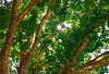 Shine (Timothy S. Photography) Tags: northcarolina greentrees orangetrees greenleafs averycounty pineolanc s timothysphotography