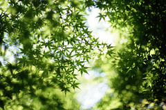 Untitled (/KENTAMA) Tags: shadow summer sunlight green bokeh momiji   mapleleaves   nikkor50mmf12 eos6d