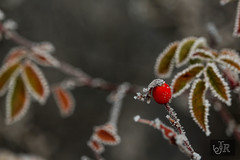 Rosehips with frost (richárdjánosi) Tags: winter nature cold frost snow macro canon hungary