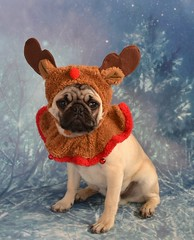 Santa's Little Pug Reindeer (DaPuglet) Tags: pug dog puppy reindeer christmas rudolph holiday season cute costume pets littledoglaughedstories pugs pet dogs hat red nose