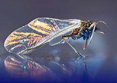 Little Wing ... Jimi Hendrix (kunstschieter) Tags: insect macro purplehaze littlewing jimihendrix inspiredbyasong