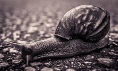 IMG_3082-2 (DFitzgeraldPhotography) Tags: okinawa japan snails giantafrican snail road saved slow animal slimy