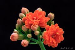 1. Blüte (Re Ca) Tags: blüte pflanzen closeup makro blumen blümchen sigma105mm eos70d knospe