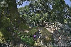 bosco e sottobosco, wood and undergrowth (paolo.gislimberti) Tags: wood bosco alberi trees fiori flowers ciclamino cyclamen sentiero path macchiamediterranea mediterraneanmaquis
