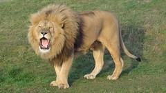 Lion 3 YWP Pride 12/2016 (LadyRaptor) Tags: yorkshirewildlifepark yorkshire wildlife park doncaster ywp nature animal animals cute feline felines felidae cat cats bigcats lion lions africanlion panthera leo males male roar roaring lioncountry pride