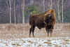 European Bison Bull (fascinationwildlife) Tags: animal mammal wild wildlife europe european bison bull male buffalo büffel forest field nature natur winter snow big tree bialowieza national park poland polen