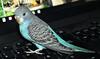 Periquito (juandiaz32) Tags: ave perico australiano bird australian parakeet