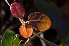 IMG_0028 Seasonal (oldimageshoppe) Tags: leaves honeysuckle winter colors