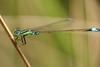 Damselfly@Rest(Explore) (tomquah) Tags: damselfly nature closeup canon eos 5d 100mm tomquah explore
