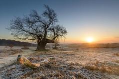 Oak Sunrise (John__Hull) Tags: oak tree sunrise landscape frost view mist nature bradgate park newtown linford leicestershire uk england nikon d3200 sigma 1020mm charnwood grass ferns bracken woods breath taking