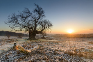 Oak Sunrise
