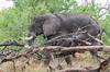 Afrikanischer Elefant / African Bush Elephant (brainstorm1984) Tags: big5 moremiwildreservat safari elefant desertdeltasafaris africanbushelephant loxodontaafricana afrikanischerelefant botswana elephant wildlife africansavannaelephant campmoremi elephantidae moremigamereserve okavangodelta bigfive