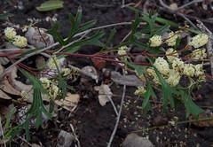 Grevillea synapheae ssp synapheae, Mundi Regional Park, near Perth, WA, 06/10/16 (Russell Cumming) Tags: plant grevillea grevilleasynapheae grevilleasynapheaesynapheae proteaceae mundiregionalpark perth westernaustralia