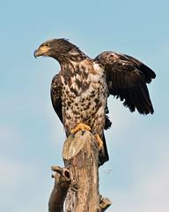 DB6_5292 (DouglasJBrown) Tags: baldeagle birdsinbc djbphotocom nature nikonafsnikkor300mmf28gedvrii juvenile wings wildlife perch birdsinbritishcolumbia eagle