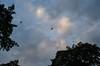 Australia (Björn O) Tags: australia australien queensland flyingfox flughund flughunde animal animals tier tiere