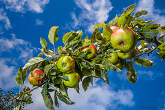 Apples (Colin_Evans) Tags: fruit apple plant apples tree flora sky crop fresh healthy food organic ripe nature sweet natural red juicy green vegetarian delicious diet leaf agriculture bright summer garden autumn harvest nutrition health fall