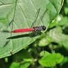 IMG_3627 (JoStof) Tags: indonesia bali animal insect dragonfly munduk hike jungle indonesië idn