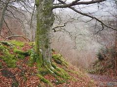 Killiekrankie Path. (Flyingpast) Tags: nature path tree winter walk perthshire scotland woods woodland scottish highlands leaves naturetrail thenationaltrust