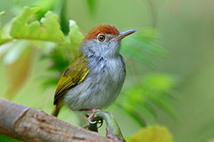 Common tailorbird (Orthotomus sutorius) (Tan TS) Tags: dairyfarmnaturepark d7100 200500mmf56 handheld