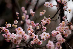 20160206-IMG_4888 (nut_cookie) Tags: flower flowers nature macrophotography plumblossoms