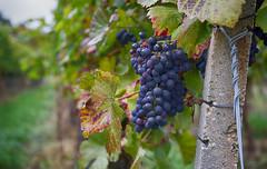 wine 2 (thiloroma) Tags: wine wein blackforest schwarzwalt anbau trauben landscape