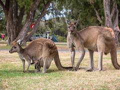 Känguru-Familie auf dem Campingplatz (bayernphoto) Tags: kangaroo family kaenguru australien western australia westaustralien denmark campingplatz campground campervan wohnmobil zelt tent camping roo mother father parents joey baby kleines mutter vater tier