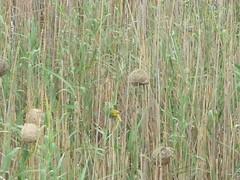 Weaver bird nests (Sidmouth Ians wife) Tags: weaverbirdnests bird nests africanwildlife