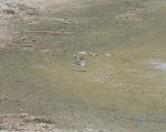 Common Ringed Plover (tapaculo99) Tags: birds aves africa madagascar plover shorebird commonringedplover charadriushiaticula