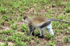 IMG_6391a - Vervet Monkey (m.) (Chlorocebus pygerythrus) - GPS #448 (Wayne W G) Tags: africa tanzania fauna tarangire nationalpark park parks animal animals monkey monkeys vervet primate primates cercopithecidae chlorocebus cpygerythrus pygerythrus chlorocebuspygerythrus male blue scrotum nature