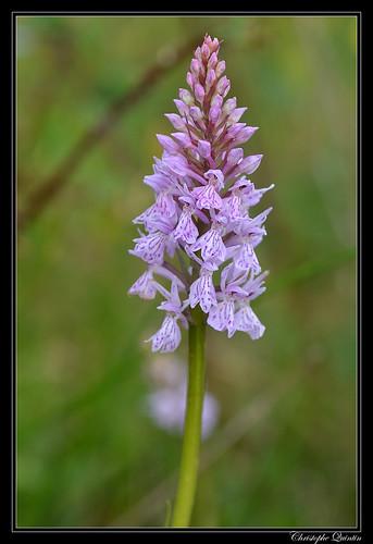 Orchis maculé (Dactylorhiza maculata)