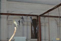 22. Cockatiel / Попугай Корелла
