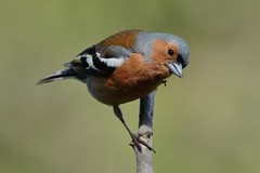 Chaffinch. (stonefaction) Tags: nature birds forest scotland angus wildlife montreathmont