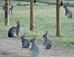 Wild Rabbits on the alert (dugwin2) Tags: wild alarmed watching rabbits