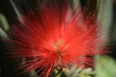 Beleza da Flor, em Vermelho (leal.fellipe) Tags: riodejaneiro nikon flor jardim beleza florvermelha fleal nikond7000 fellipeleal lealfellipe