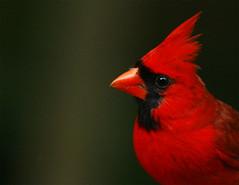 Northern-Cardinal-89 (egdc211) Tags: bird nature canon birdwatcher northerncardinal backyardbirding naturewatcher connecticutbird newenglandbird