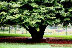 Tree Of Life (Click Therapy) Tags: park tree green nature leaves garden bigtree treeoflife naturelove hugetree lalbaug underthetree barkoftree clicktherapy