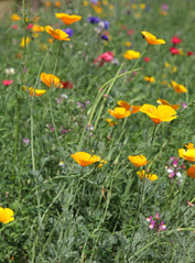 Meadow Yellows (Adam Swaine) Tags: uk flowers england urban london english nature canon petals flora colours meadows parks peckham 2015 swaine