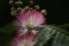 Mimosa Flower (Pam Garland) Tags: pink flowers light plant green blossom explosion bloom glowing mimosa brilliant radiating specialeffects
